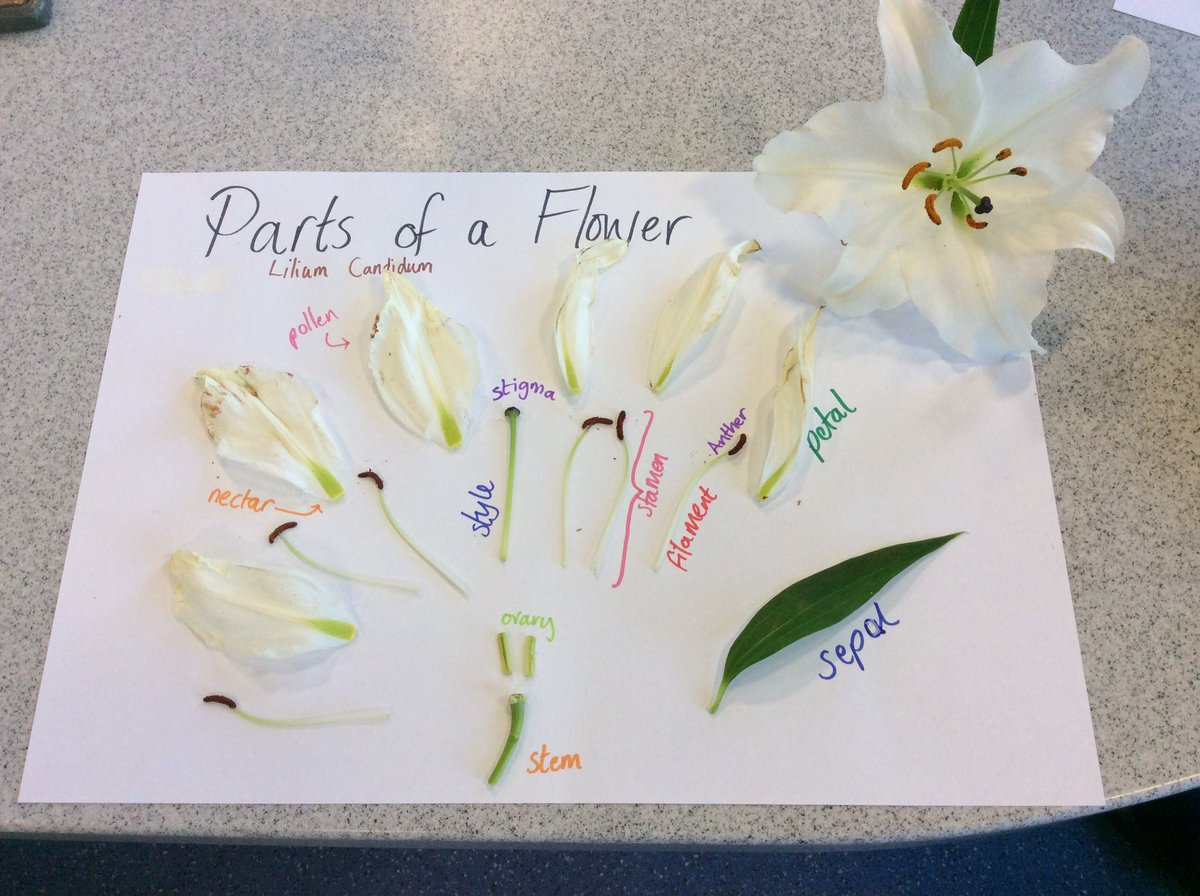 Lily Flower Dissection Worksheet