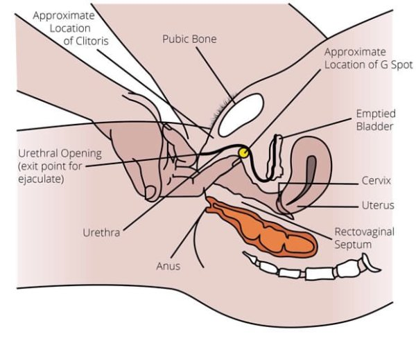 Diagram showing the location of the G-spot on the roof of the vagina canal, just past the pubic bone