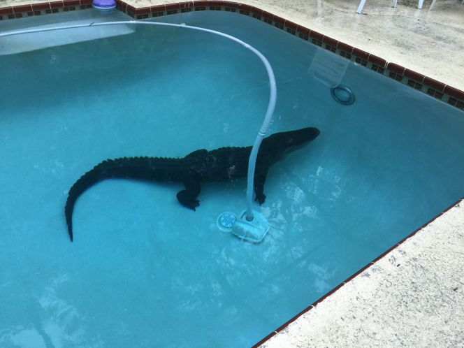 When you wake up to find a gator lounging in your pool, who you gonna call? @MyFWC!