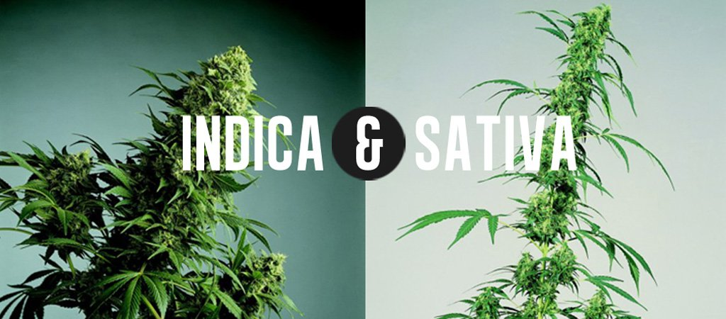Take Our #Quiz! Which Weed Do You Need: Indica or Sativa?