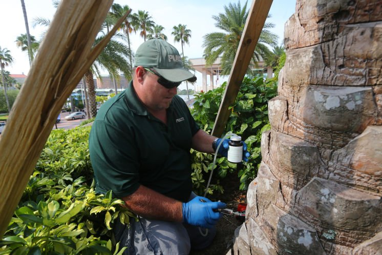 Hillsborough is ground zero for disease killing palms across the region  by @codonnell_Times