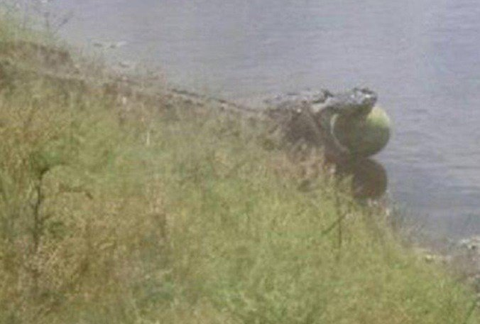 Only in Florida: Alligator slides into pond with watermelon in its jaws