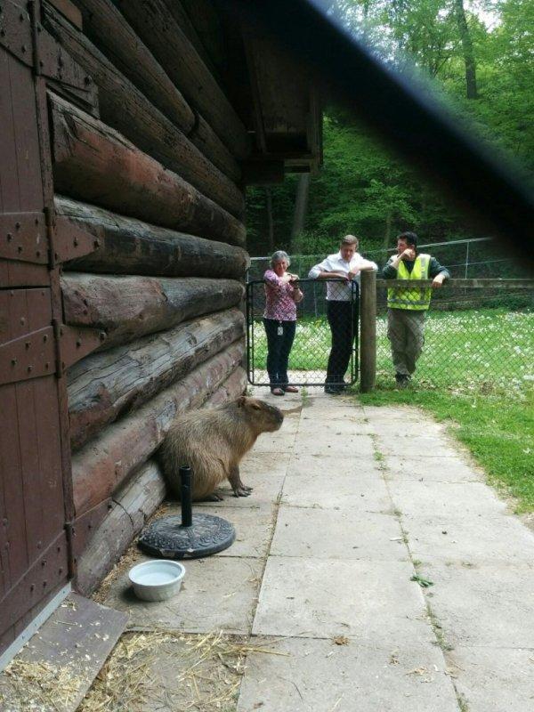https://twitter.com/JohnTory/status/735530295580086273/photo/1?ref_src=twsrc%5Etfw&ref_url=http%3A%2F%2Fwww.theglobeandmail.com%2Fnews%2Ftoronto%2Fcapybara-escape%2Farticle30126980%2F