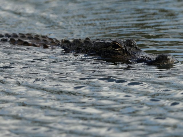 Police find two alligators feasting on a human body in Florida canal.