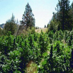A Growing Trend: Cultivating #Marijuana For Personal Fulfillment  by @thatjohnnygreen