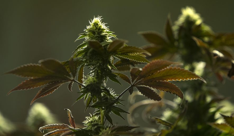 Marijuana Growers, Processors Face Complex Rules #growers #oregon #recreational #USA
