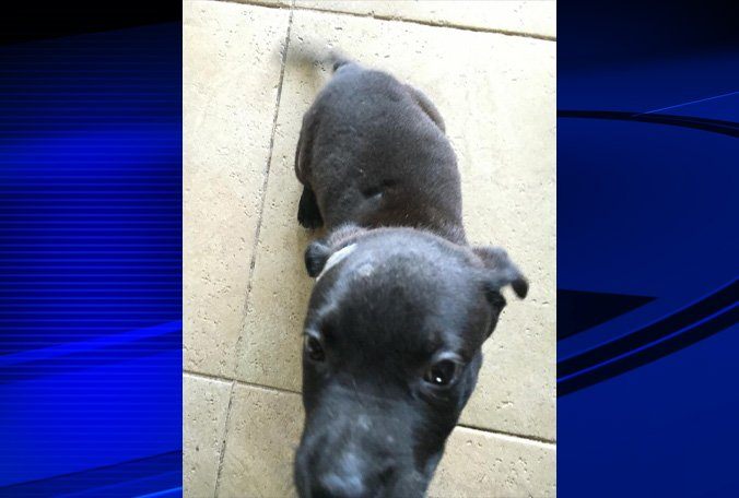 Rafiki, the 8 wk old puppy who was found abandoned in #Manatee Co. yesterday, is recovering.