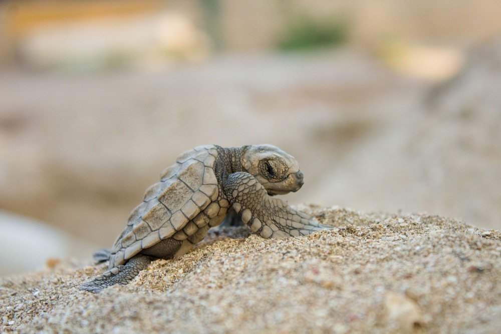 .@A_W_Global  FWC warns beachgoers: Don't pick up sea turtle hatchlings.   #Floridabeaches