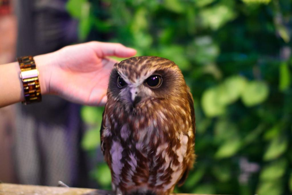 Inside a Japanese owl café: Warning! A gallery of cute ahead!