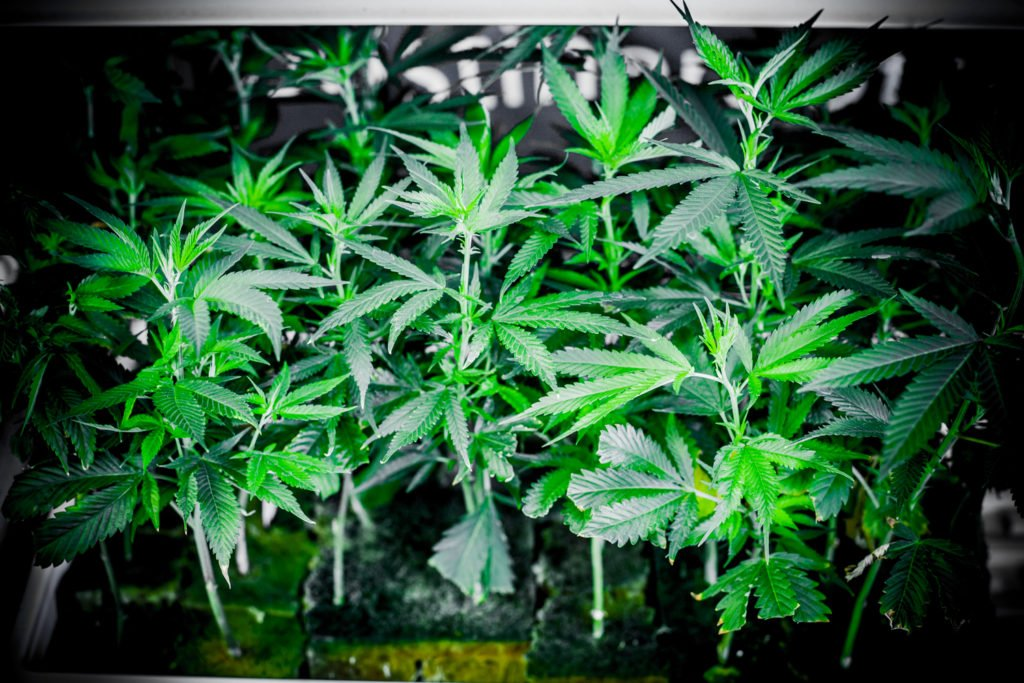#READ A great price crash in #marijuana could be in the offing after Tuesday's election.
