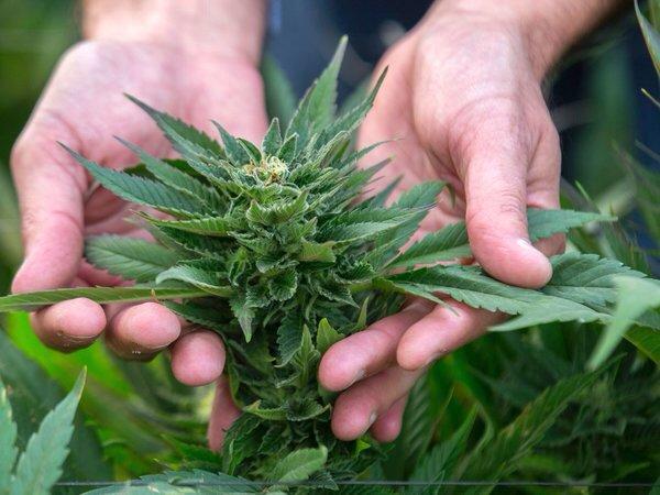 Where Marijuana Is the Doctor's Orders, Will Insurers Pay?    #MME #cannabis #marijuana #cbd