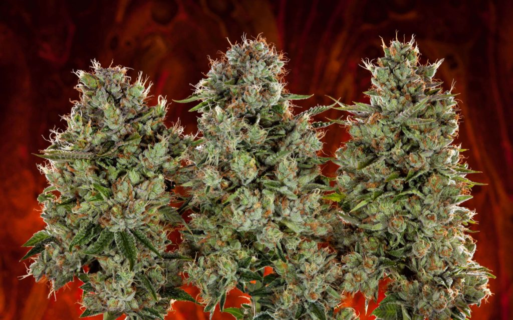 Try Our #Quiz: Are You More Indica or Sativa?