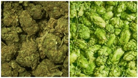 Three arrested on P.E.I. after mistaking hops for marijuana  #pei