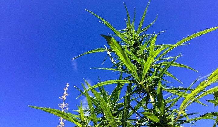 10 Most Common Misconceptions About Hemp  @Leafly #hempvsmarijuana #marijuanaeducation