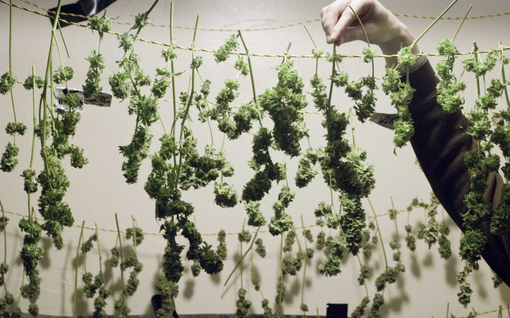 Grow Q&A: What Temperature and Humidity Is Best For Drying Pot Plants?