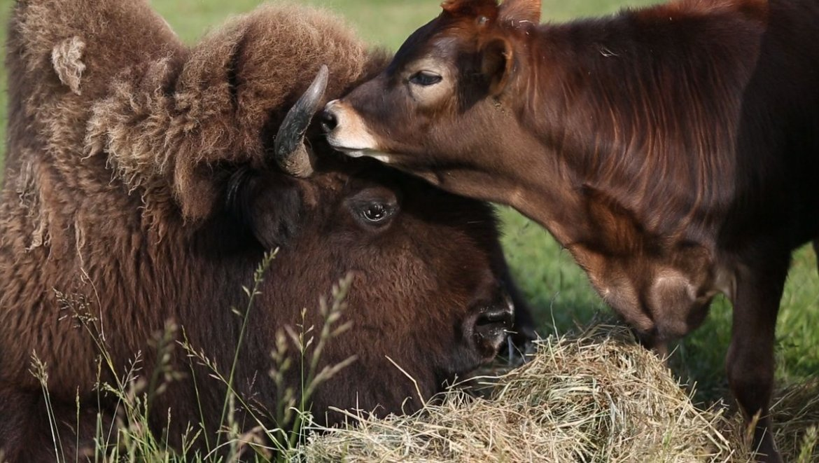 Blind bison lived a lonely life until she met a calf to love