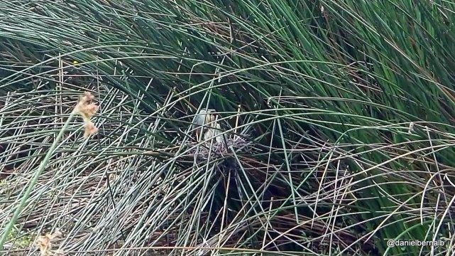 Garcita rayada y sus 2 crías