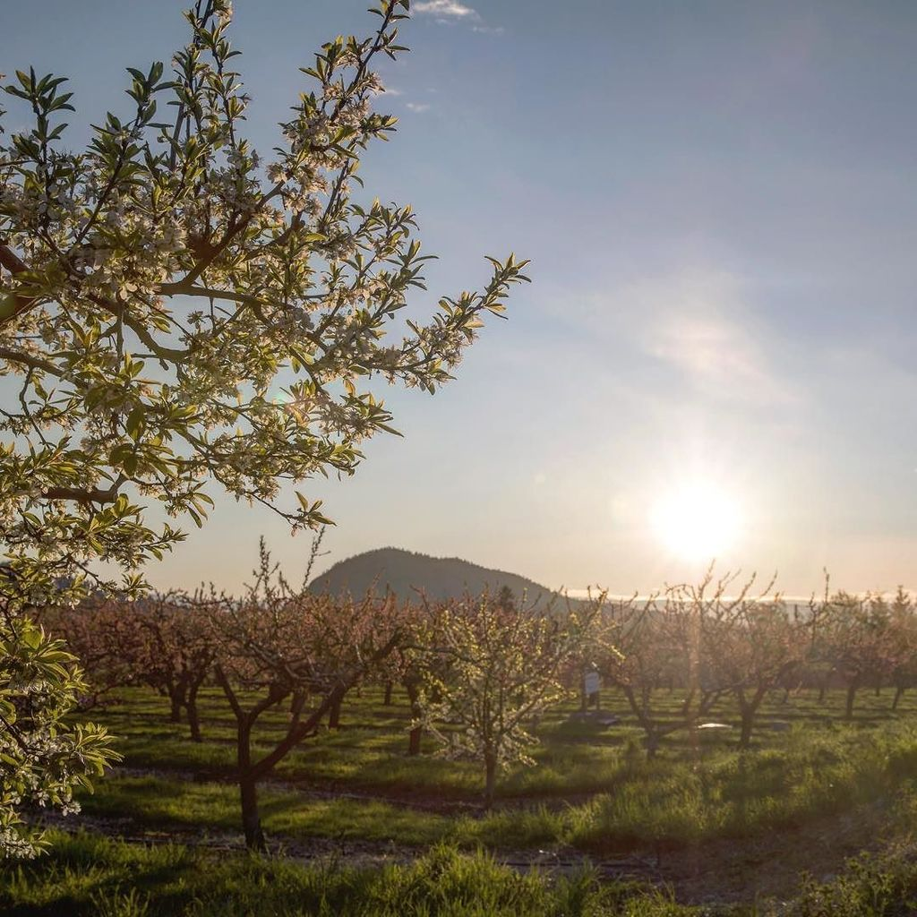 test Twitter Media - Sunrise over the orchards. Our fruit stand are opening up! #visitwestside #explorebc #explorecanada https://t.co/I9s7Fq9oRU https://t.co/bMECiF8Kcc