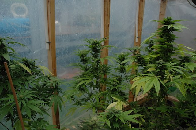 Grow Q&A: When To Start Flushing Pot Plants.