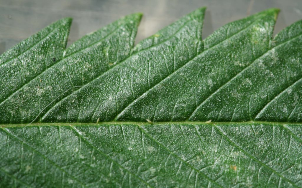Grow Q&A: Can I Use Predatory Lacewings to Kill Aphids on My Pot Plants?
