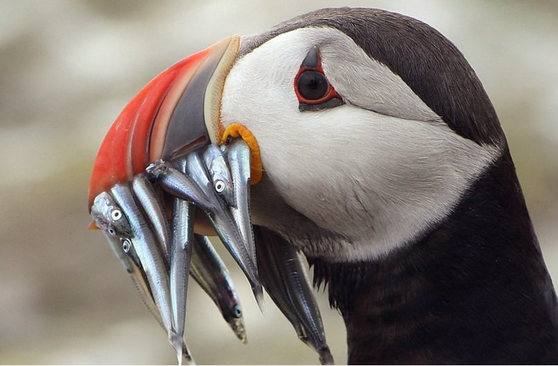 Puffins in peril! How climate change is affecting their diet:  Jo