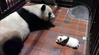 test ツイッターメディア - おはようございます 上野動物園の赤ちゃんパンダが誕生(6月12日)して4か月余り、パンダ可愛いですよね  意外と知らない?基本的な情報まとめました 赤ちゃんパンダ→シャンシャン(香香,メス) 父パンダ→リーリー(力力) 母パンダ→シンシン(真真) 尻尾の毛色は白色です https://t.co/3mCnfXOZ73