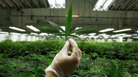 Albertans among Canada's biggest users of medicinal marijuana, Health Canada says
