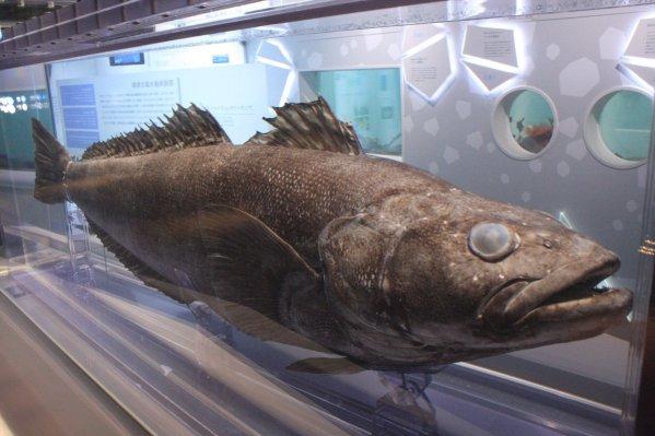 「メロ 魚」の画像検索結果