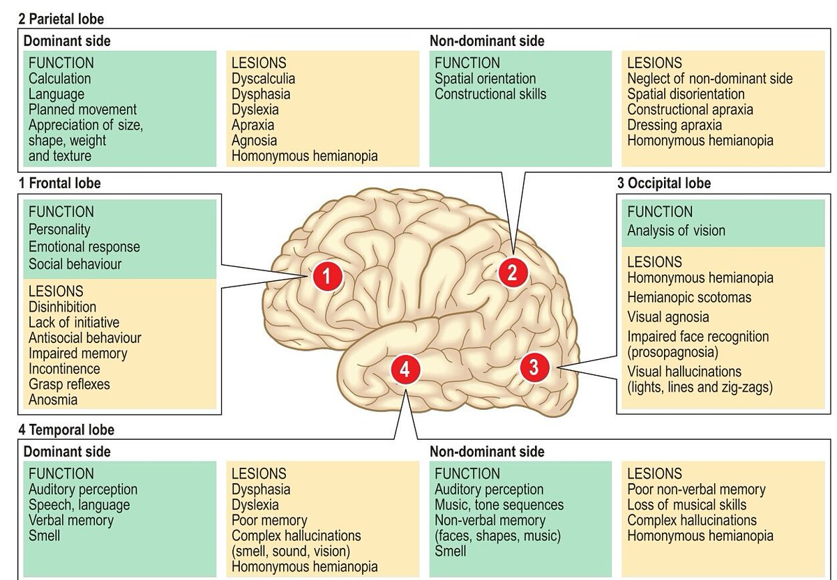 Zainab On Twitter Functions Of The Lobes Of The Brain