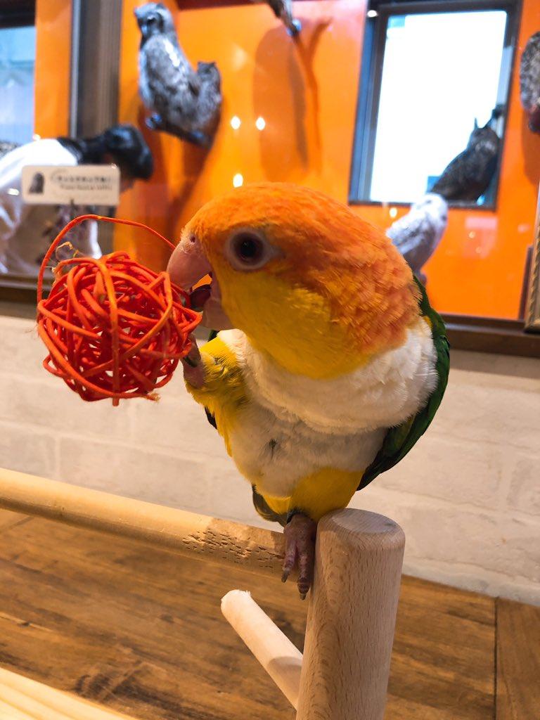 test ツイッターメディア - 癒され活動2日目🦉  念願の鳥カフェ!!! すごい種類のフクロウで撫で放題・眺め放題で3時間入り浸り。 それでも足りぬ。  どハマり中のシロハラインコとも遊べてキンカジューの赤ちゃんも触れて…幸せ空間✨  また行きたいーーー😭💕  ほんま動物にまみれて生きたい… https://t.co/OPF75VFR2d