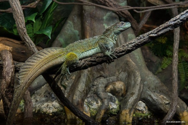 """WCS Education on Twitter: """"Weber's sailfin lizard (Hydrosaurus weberi), named for the crest on its tail is often found near rivers or streams. They are adept swimmers and sometimes take to the"""