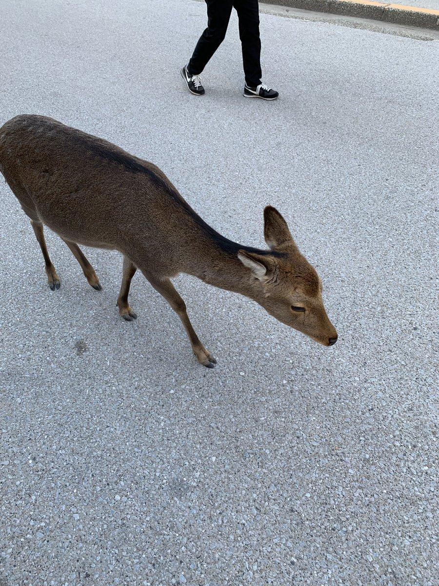 test ツイッターメディア - 厳島神社のある宮島も、奈良公園あたりみたいに鹿がそれなりに自由に闊歩してらっしゃる🦌🦌🦌  飯屋の入り口も占拠されててなかなかふてぶてしい奴らよのう…と思ってしまった。 #ねもぱい広島 #広島旅行 https://t.co/DcEMppnWof https://t.co/irwemKqWlh