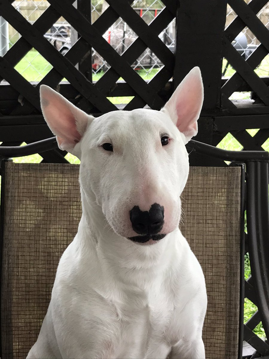 His Name Is Porter He S Our English Bull Terrier Don T Judge His