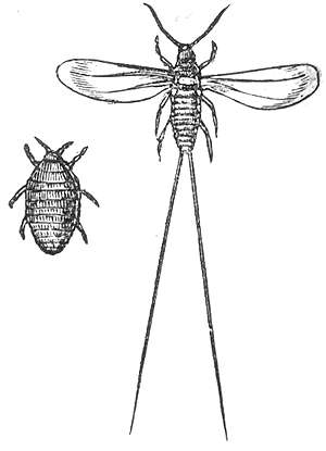 A female and a male cochineal -- the female is small and scaled with segments. The Male is longer and narrower with long wings and back feelers. The females are the ones used in making carmine. Wikimedia Commons, public domain.