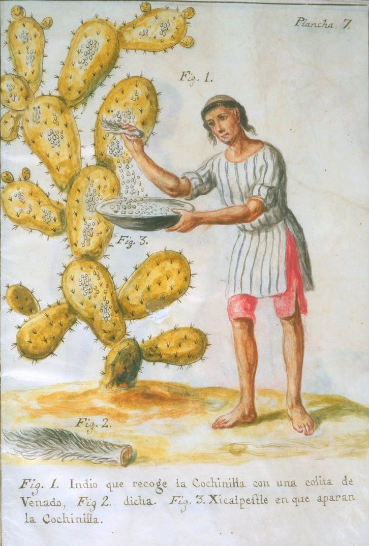 An image of indigenous people collecting cochineals off of a prickly pear tree, brushing the little pebble bugs into a large bowl. The worker is wearing bright red trousers and a red striped top, reminiscent of the next picture. Public Domain via Wikimedia Commons.