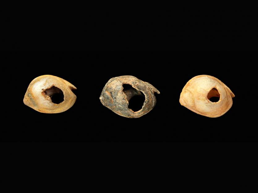 Three shells with perforated holes, indicating they were used as beads. They are almond shaped, yellowed, and each have a hole in a similar place. They have yellowed slightly with time. Image: Smithsonian Institute