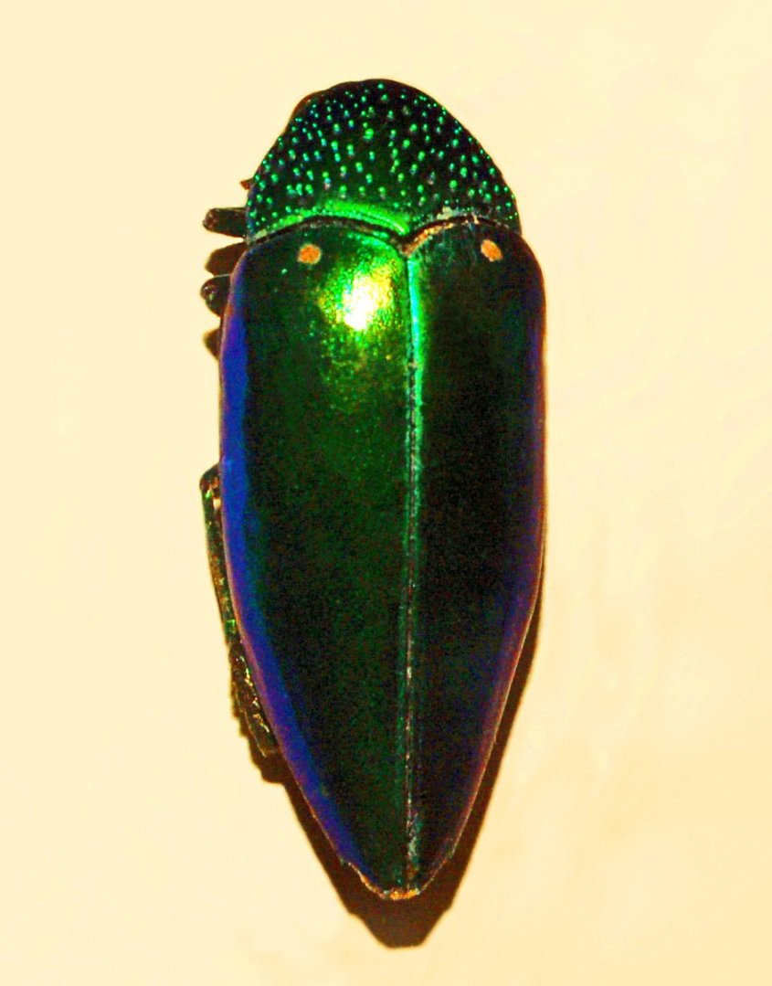 Sternocera aequisignata - Hectonichus, CC BY-SA 3.0 via Wikimedia Commons - A long iridescent beetle of brilliant green and blue, shaped somewhat like a sunflower seed. The top is speckled.