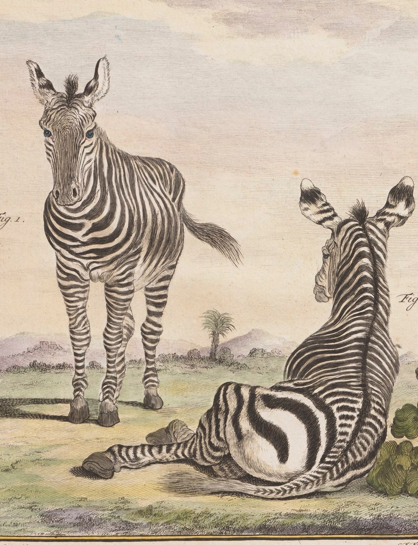 Two striped zebra, one looking at the illustrator and one posing a la odalisque. Dating from 1700-1880 or so. Public domain via Wikipedia.