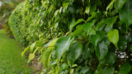 Ficus_microcarpa_P1180982