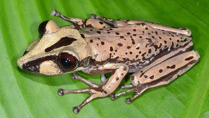 Casque-headed frog