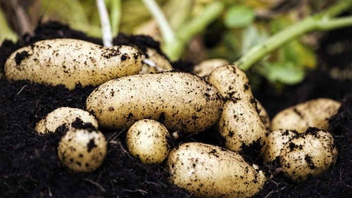 NASA to grow potatoes on Earth under Mars-like conditions