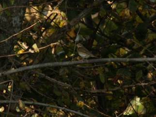 olive-backed-pipit-green-farm-st-marys-241016