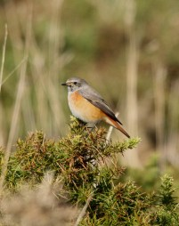 redstart-the-airfield-st-marys-251016
