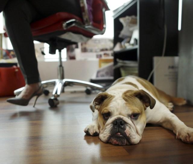 Bulldog Rosie Sits Under The Desk Of Her Owner Barbara Goldberg Ceo Of O