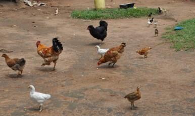 Josephine's flock