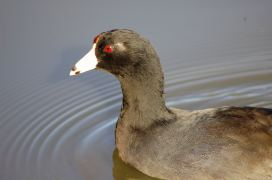American Coot (close-up)