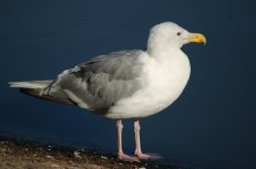 Glaucus-winged Gull (adult with deformed beak)
