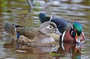 Wood Duck (pair)