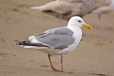 Glaucous-winged Gull (hybrid?)