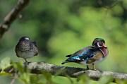 Wood Duck (pair) | Canard branchu | Aix sponsa